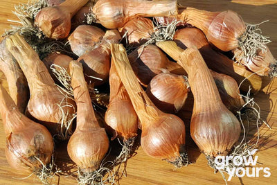 French Red Shallot bulbs grown in NZ