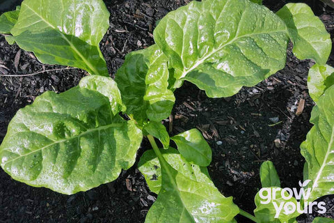 Spinach Perpetual grown from seeds