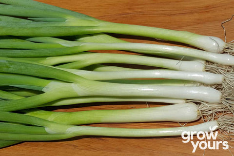 Spring Onion Tokyo Long White grown from seeds
