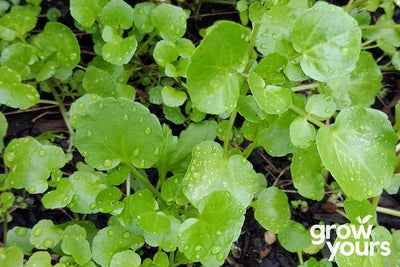 Watercress grown from seed in NZ