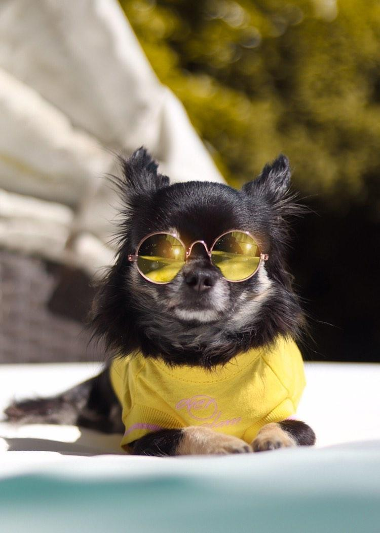 A dog posing with an Over Glam T-shirt and sun glasses
