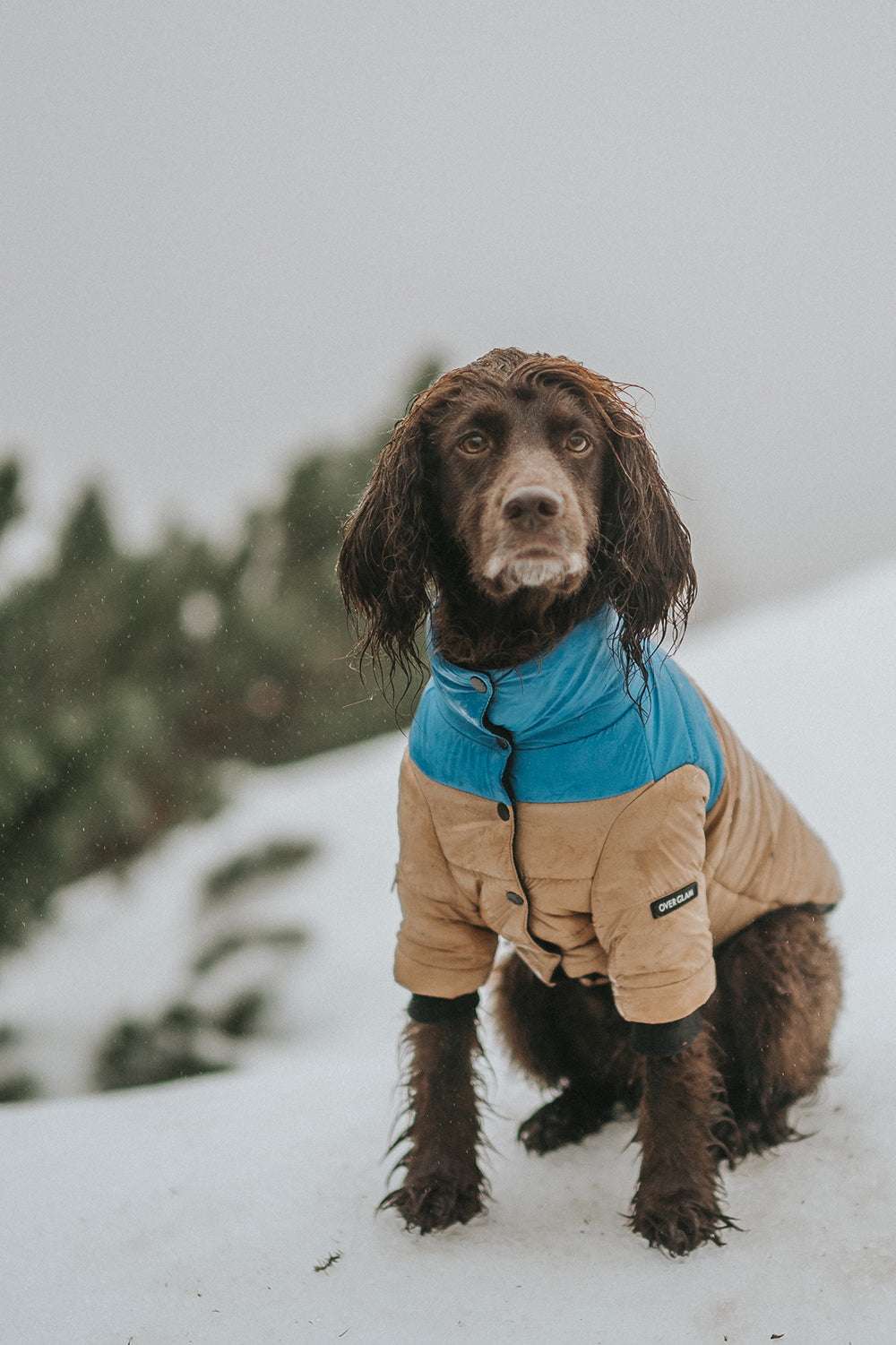 A dog in the snow wearing a ski jacket