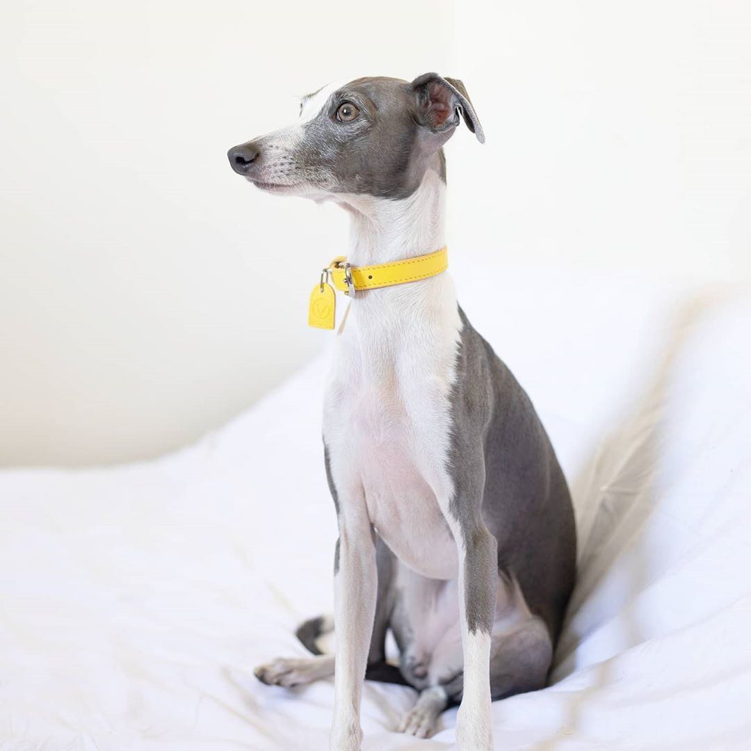 An Iggy dog with an OverGlam collar posing on a bed