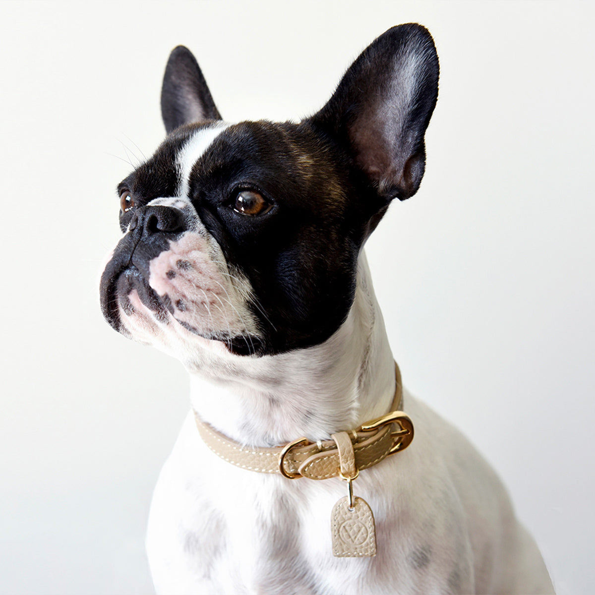 Dog with Over Glam collar