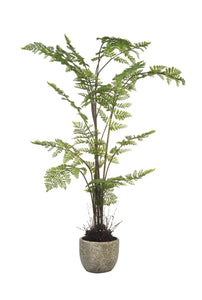 Long Acre Fern Potted
