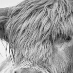 Nordic Portrait of a Highland Cow Posters and Prints Wall Art Canvas Painting Pictures For Living Room Home Decor 60cmX100cm