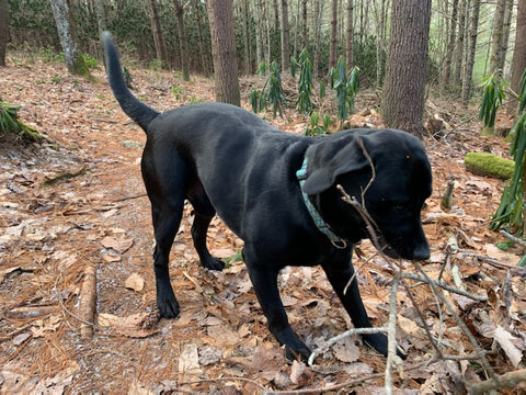 Oliver, a black Labrador Retriever, outside in a wooded area, playing with a stick