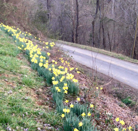 Yellow daffodils blooming on a hilly roadside