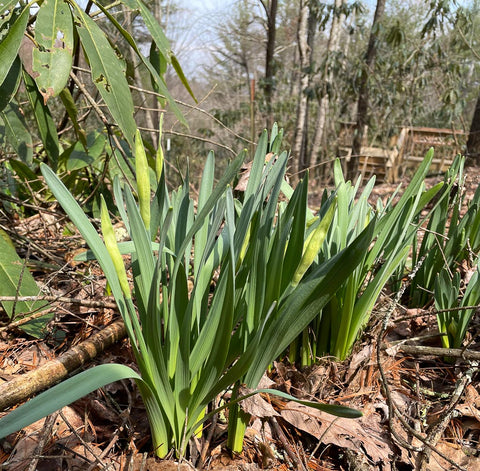 Daffodils almost ready to bloom
