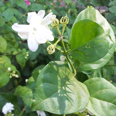 Image of Jasmine plant with white flowers - link to products using Jasmine collection
