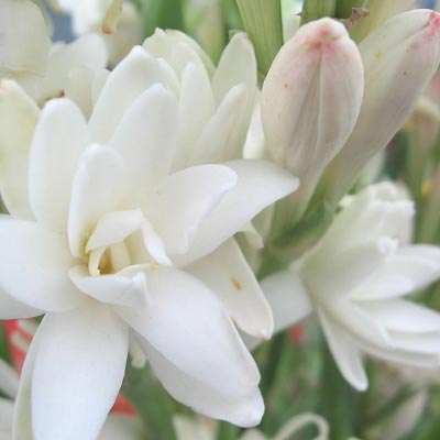 Image of the tuberose plant with bautiful pink pedals