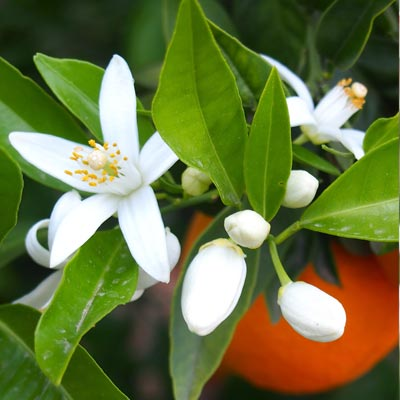 Image of an orange blossom plant in front of a hanging orange on an orange tree