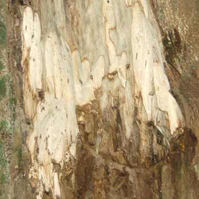 Image of trunk of tree with raw wood exposed - link to products using Wood scent collection