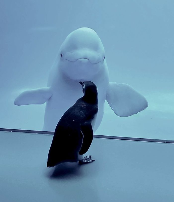 beluga whale Pinguin confinement