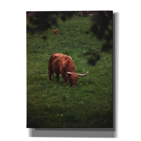 Image of 'Grazing Highlander' by Nicklas Gustafsson Canvas Wall Art