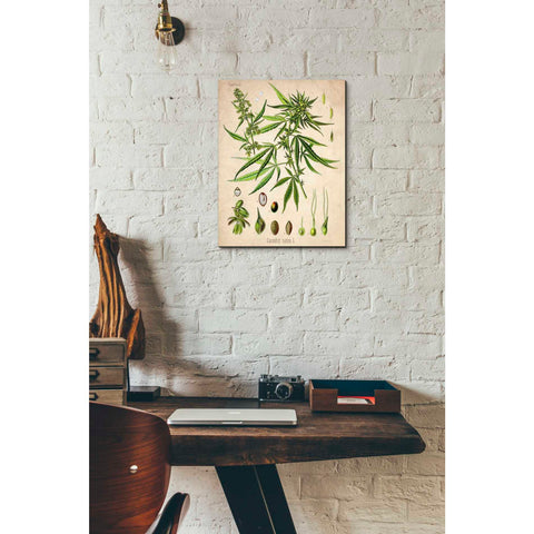 'Cannabis Sativa' by Walther Otto Muller, Canvas Wall Art,12 x 16