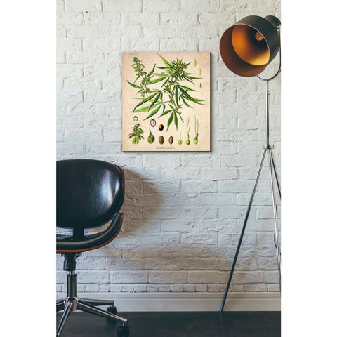 'Cannabis Sativa' by Walther Otto Muller, Canvas Wall Art,16 x 18