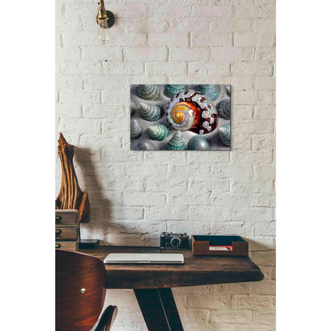 'Shell Spiral' by Dennis Frates, Canvas Wall Art,18 x 12