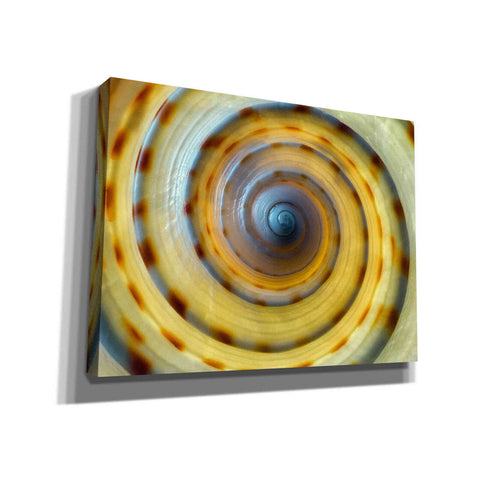 'Shell Spiral IV' by Dennis Frates, Canvas Wall Art,Size B Landscape