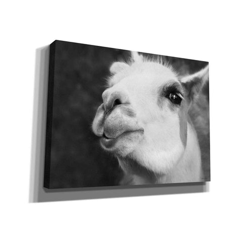 Image of 'Lake Tobias Alpaca' by Lori Deiter, Canvas Wall Art