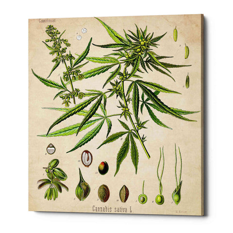 'Cannabis Sativa' by Walther Otto Muller, Canvas Wall Art