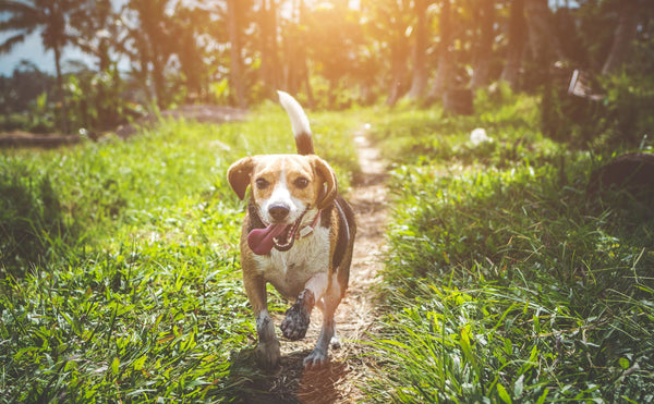 CBD OIL FOR DOGS: DOES IT WORK? HOW MUCH SHOULD I GIVE MY DOG?