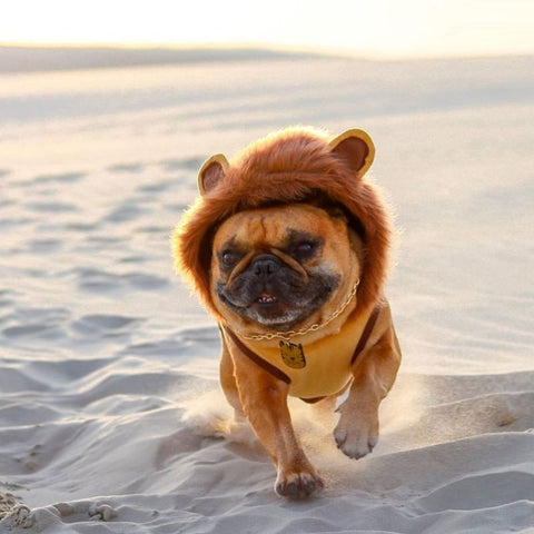 french bulldog lion costume