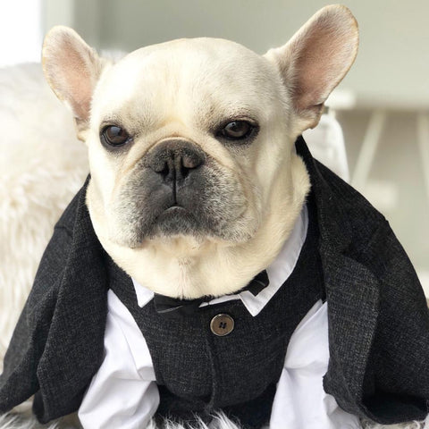 Black French Bulldog Wedding Outfit Coat - Frenchiely
