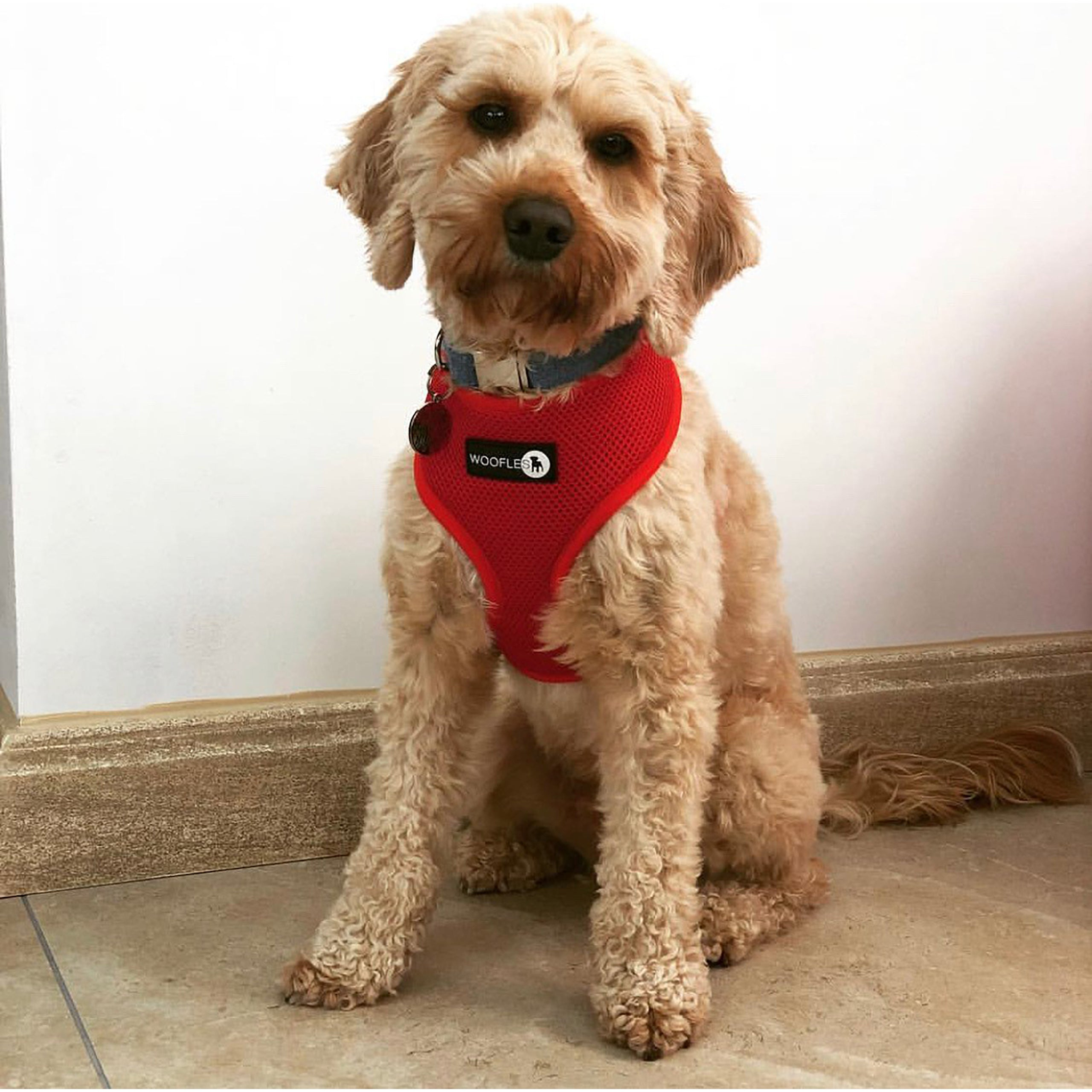Cockapoo in red woofles dual airmesh harness