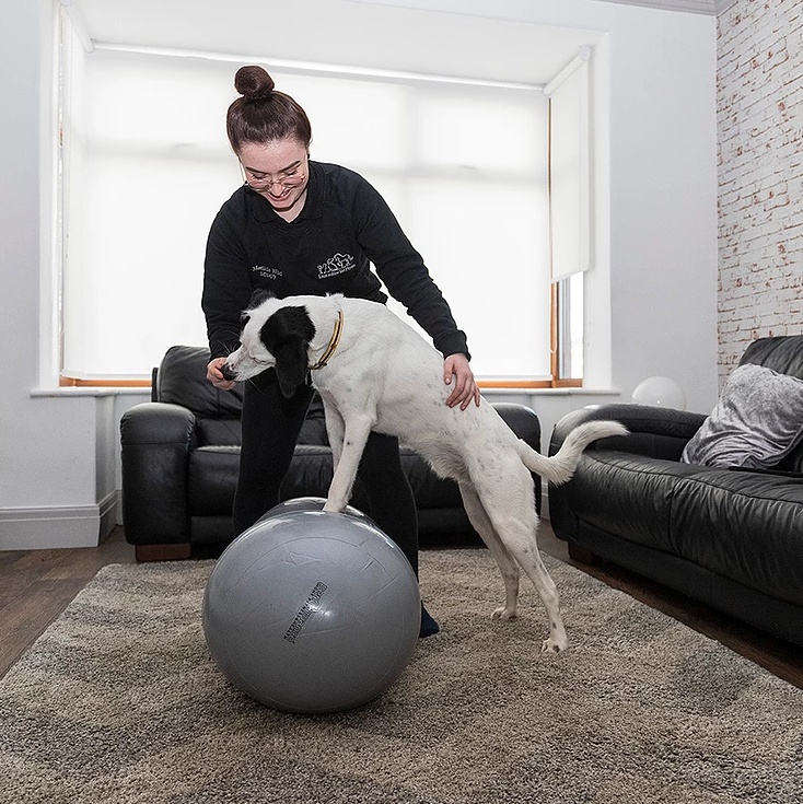 Dog on physiotherapy ball with therapist
