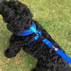 Black cockapoo in blue woofles harness and lead