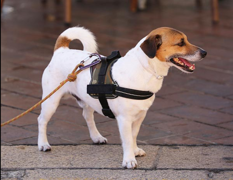 Jack Russell wearing restrictive harness