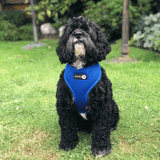 Cockapoo wearing Blue Dual AirMesh harness