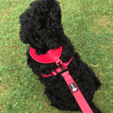 Cockapoo wearing harness and matching Red Max Comfort Lead