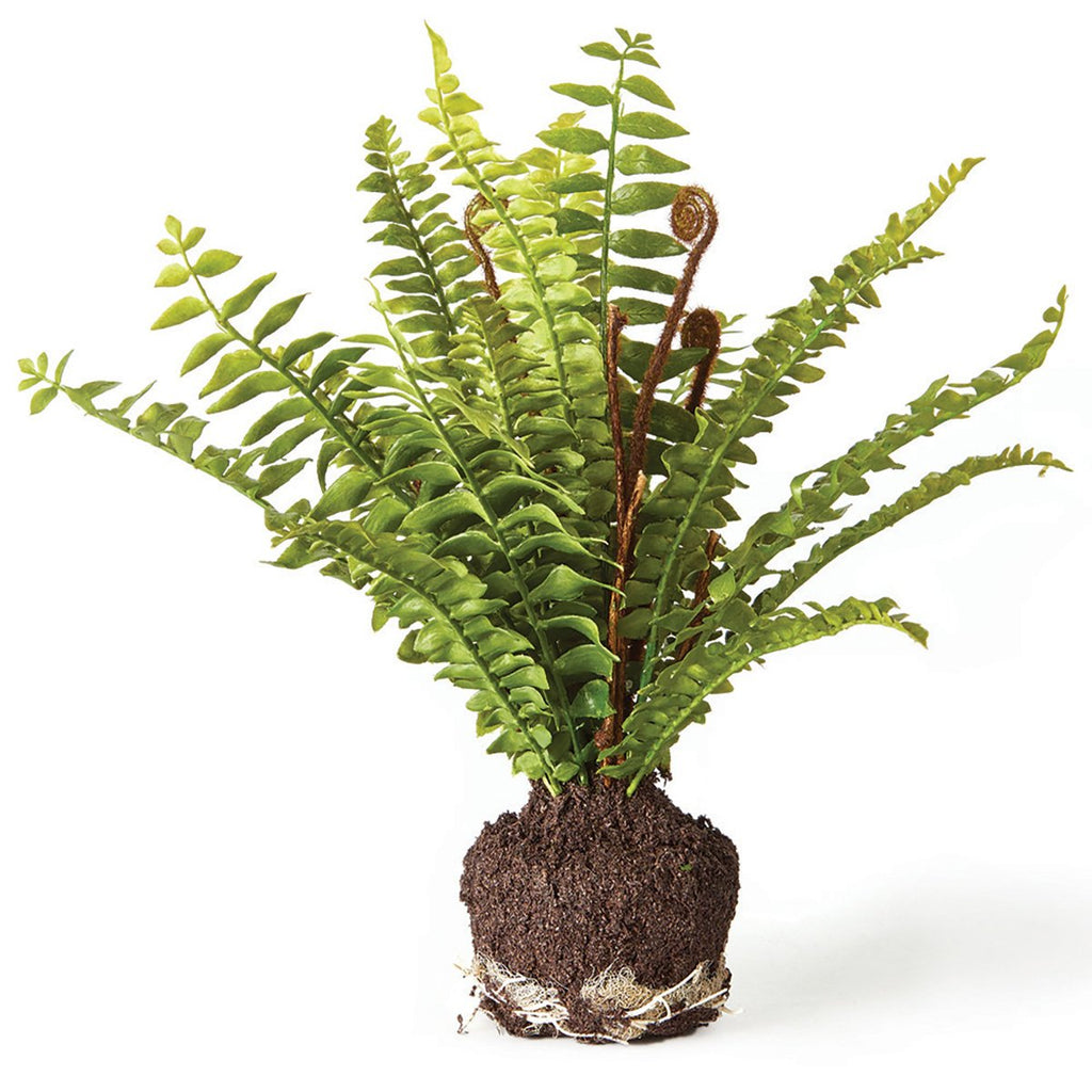 "Boston Fern 11"" Drop In"