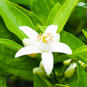 Basil & Neroli Fragrance Oil for candles by Truly Personal