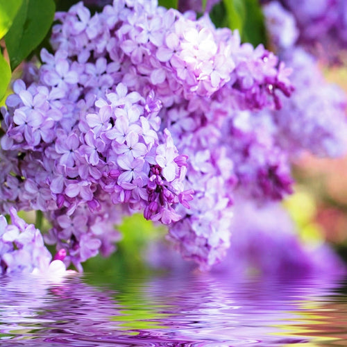 Lilac Blossom fragrance oil for candles, wax melts, soap, bath bombs by Truly Personal