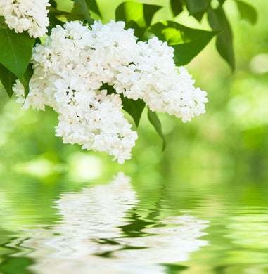 White Lilac & Rhubarb Fragrance Oil for Candles by Truly Personal