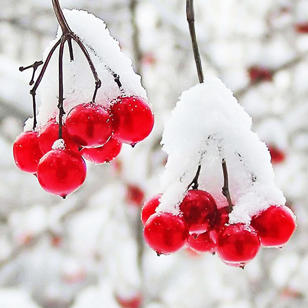 Winter Berries Fragrance Oil by Truly Personal
