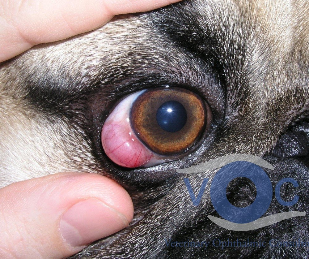 December Pulse Article (PART 6 OF 12, COMMON SMALL ANIMAL SCLERAL ABNORMALITIES)