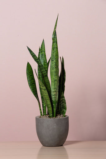 Potted Sanseveria