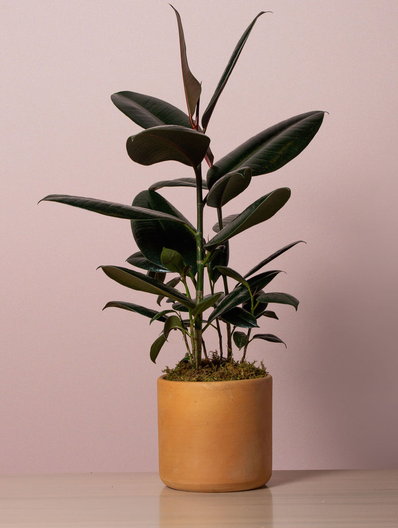 Potted Rubber Plant