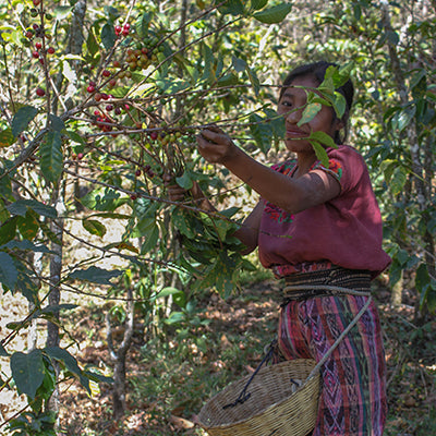 Woman harvesting coffee.