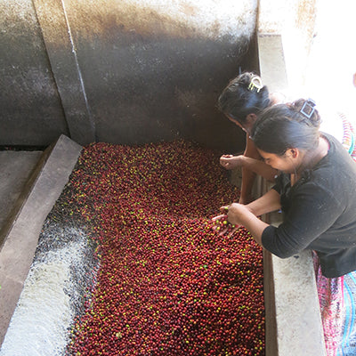 Women sorting coffee cherries.
