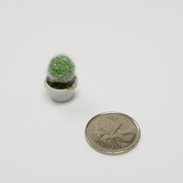 Miniature Succulent - Old Man Cactus