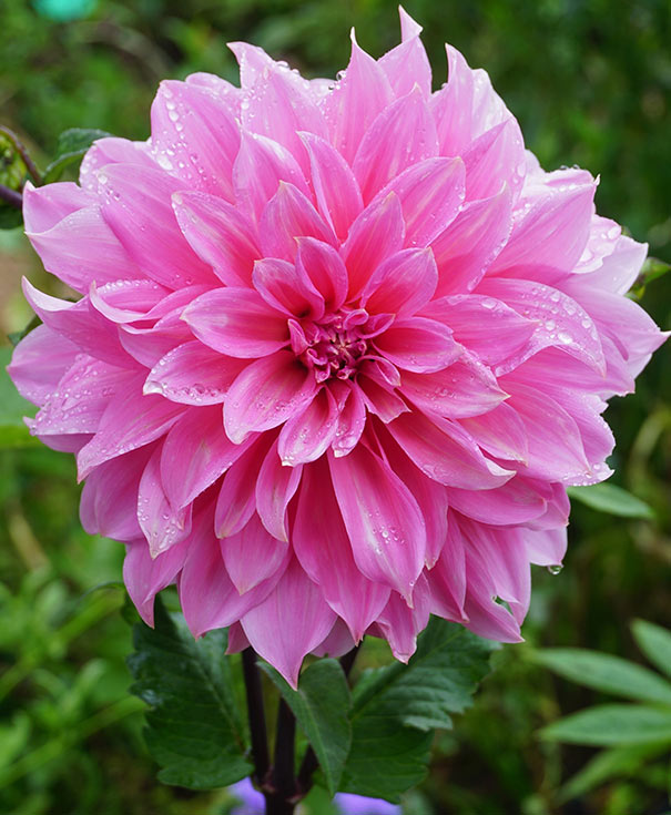 Dahlia Mix ( Rosella, La Baron, Pretty in Pink) Bulb
