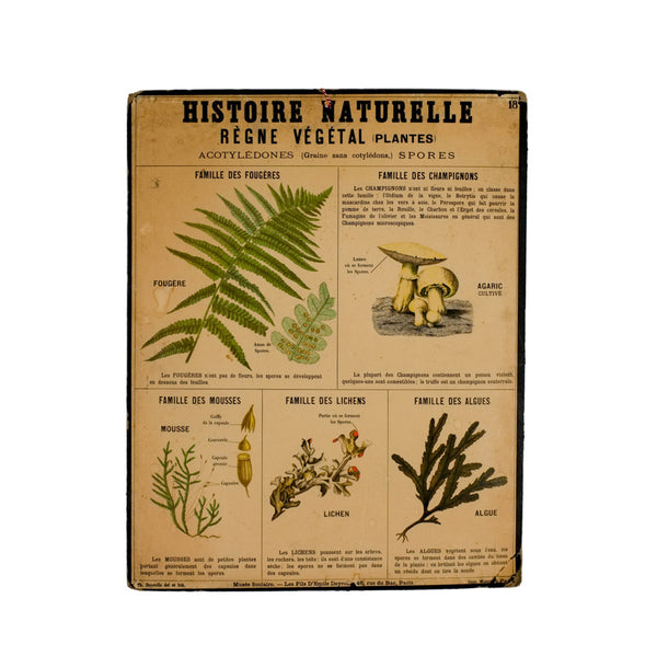 Vintage litho 'Acotyledones' school chart, Vintage, Vintage Finds - Six and Sons