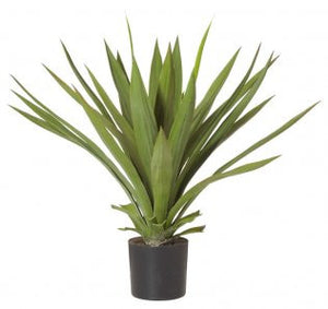 PINEAPPLE AGAVE
