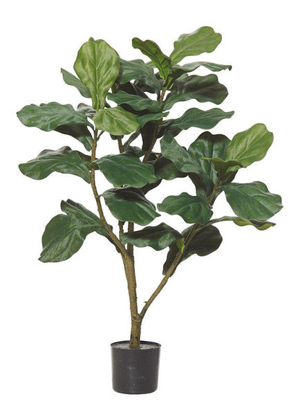 FIDDLE TREE- LARGE LEAF
