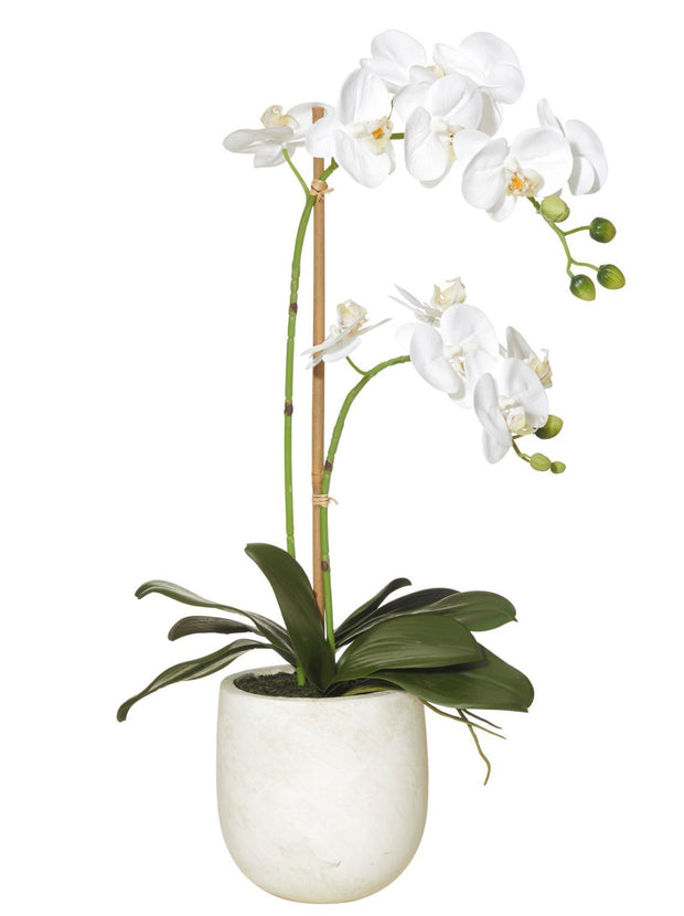 BUTTERFLY ORCHID | STONE POT
